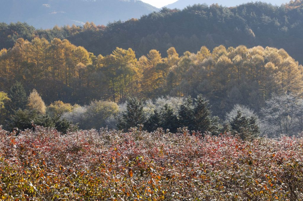 カラマツの紅葉と白樺の霧氷
