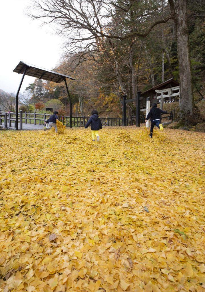 落葉するイチョウの葉